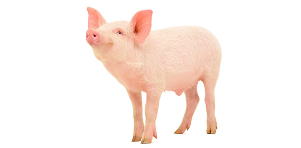 External anatomy of fetal pig