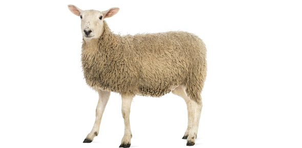 Sheep and Goat Breeds Flashcards by ProProfs