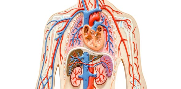 Chapter 30: The Circulatory System Flashcards by ProProfs