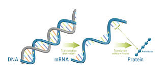 Biological Molecules OCR AS - Nucleotides, DNA And RNA