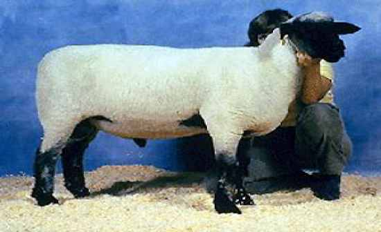 Breeds  Sheep  Flashcards By Proprofs