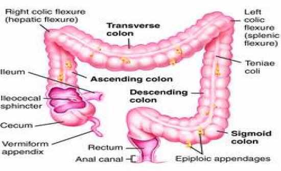 Right colon anatomy