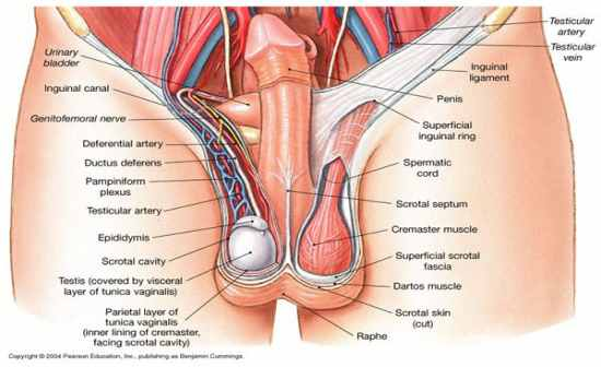 Anatomy And Physiology  Digestive  Urinary  And