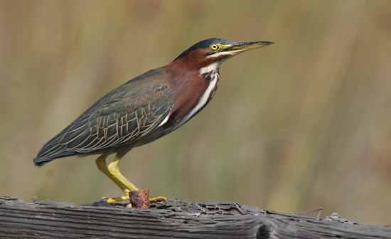 michigan birds flashcards by proprofs