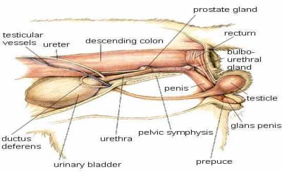 cat penis anatomy