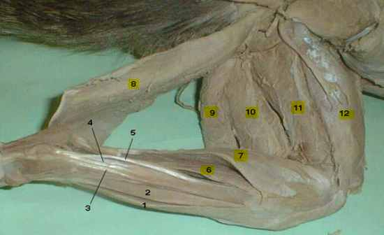 Cat Muscle Identification Thoracic Superficial Flashcards By