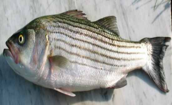 Attracted the Striped drum fish even when