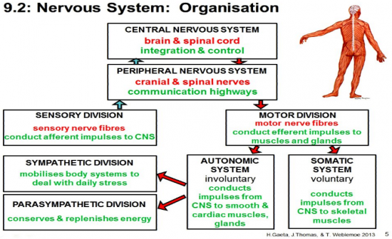 nervous system flash cards This site is 100% ad supported please add an exception to adblock for this site.