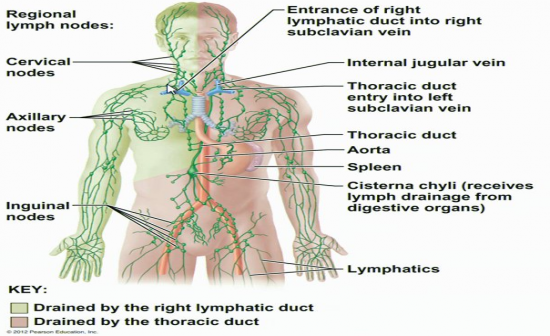Hap 1 Lymphatic System Flashcards By Proprofs