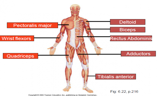 Hap 1 The Muscular System Flashcards By Proprofs
