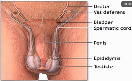 Testicle size sperm production