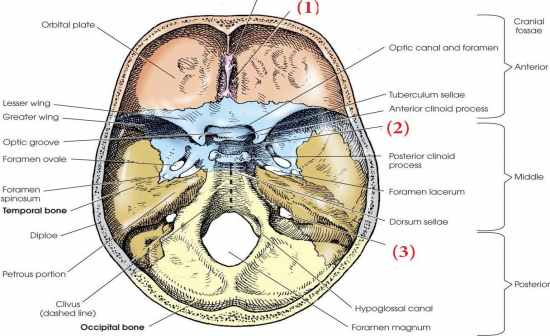 lesser wing of sphenoid | gallery, Human body