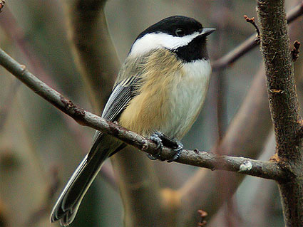 Winter Backyard Birds Flashcards By Proprofs