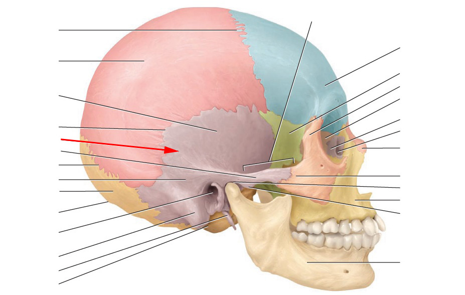 Cranial Bones And Markings Flashcards By Proprofs