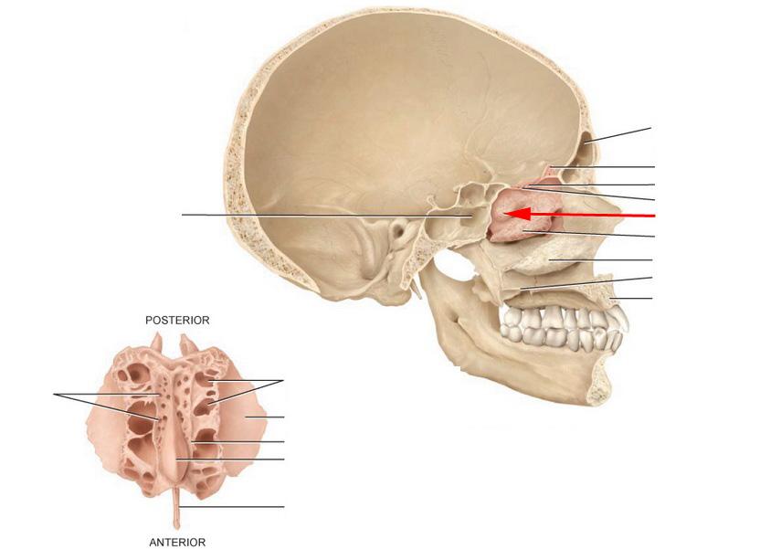 similiar ethmoid bone keywords, Cephalic Vein