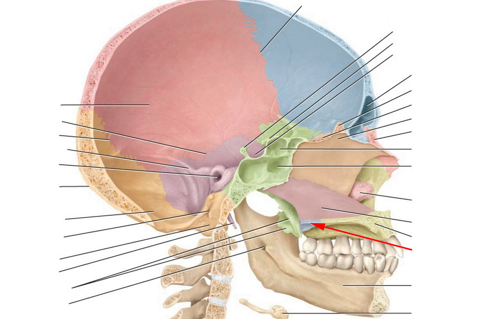 Facial Bones And Markings Flashcards By Proprofs