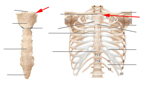 Thoracic Skeleton Flashcards by ProProfs