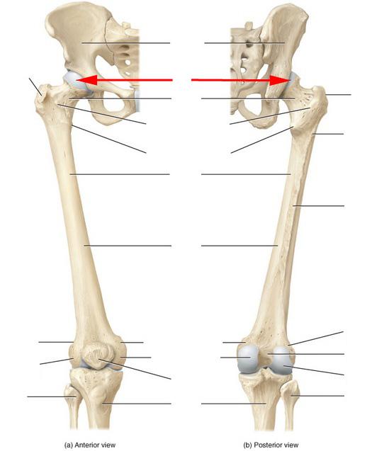 femur diagram femur diagram quiz skeletal anatomy of the femur flashcards by proprofs