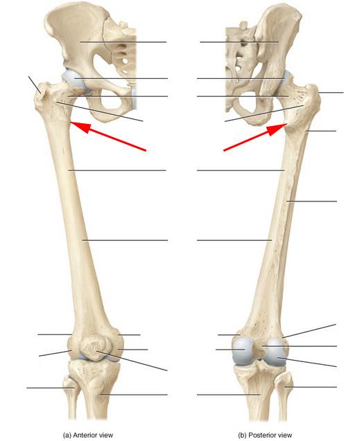 Skeletal Anatomy Of The Femur Flashcards By Proprofs