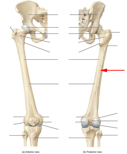 Skeletal Anatomy Of The Femur Flashcards by ProProfs