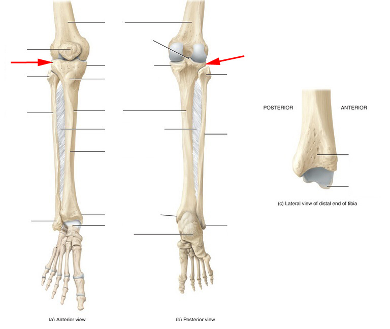 Skeletal Anatomy Of The Tibia Fibula Ankle And Foot Flashcards By