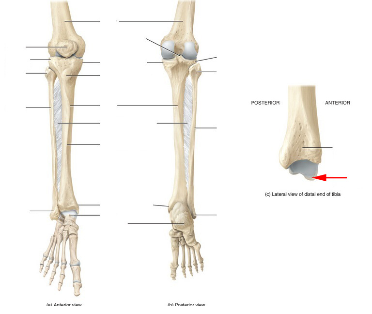 Skeletal Anatomy Of The Tibia, Fibula, Ankle And Foot Flashcards by ...