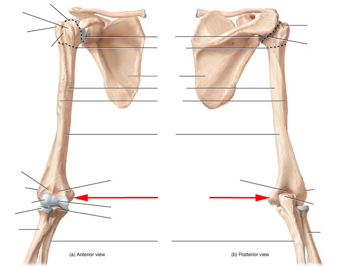 Skeletal Anatomy Of Humerus Flashcards by ProProfs