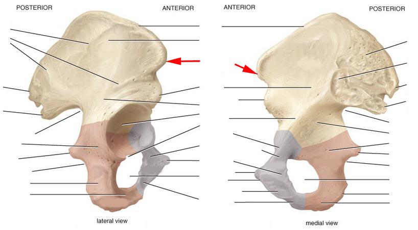 Skeletal Anatomy Of Pelvic Girdle Part I Flashcards By Proprofs