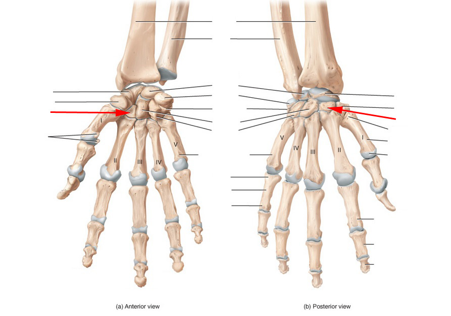 Ulna, Radius, Wrist And Hand Skeletal Anatomy Flashcards by ProProfs