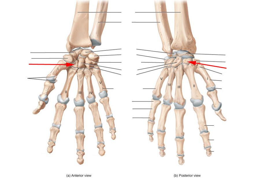 Bone Anatomy Of The Hand Image collections - human body anatomy
