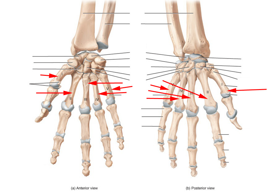 Ulna Radius Wrist And Hand Skeletal Anatomy Flashcards By Proprofs