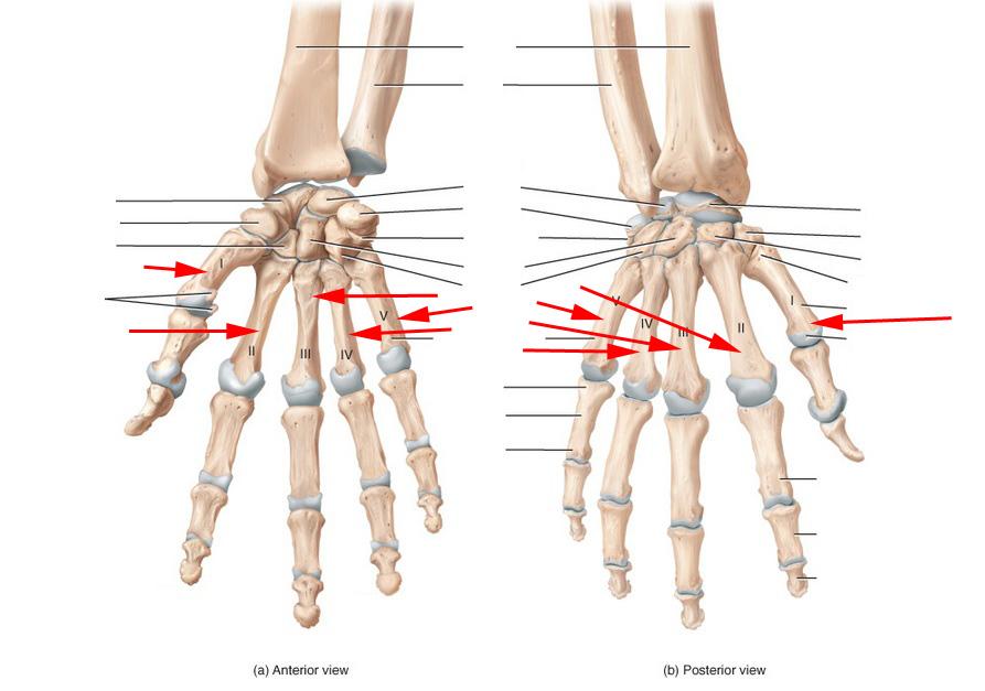 Skeletal hand anatomy