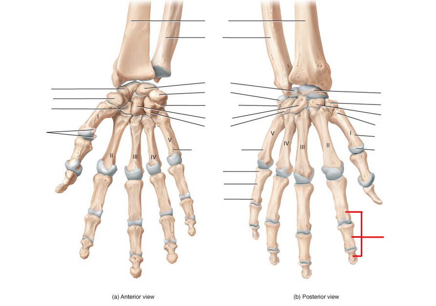Ulna, Radius, Wrist And Hand Skeletal Anatomy Flashcards by ProProfs