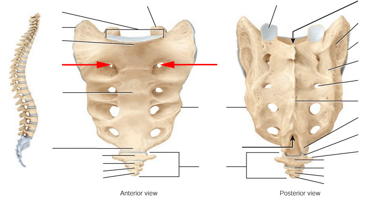 Anatomy Of Sacrum Images - human body anatomy