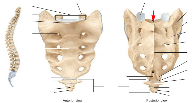 Os sacrum anatomy