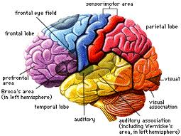 Teenage brain flashcards by proprofs brain ccuart Images