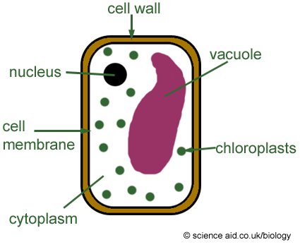 Animal Cell Organelles And Functions. soil Generic animal cell