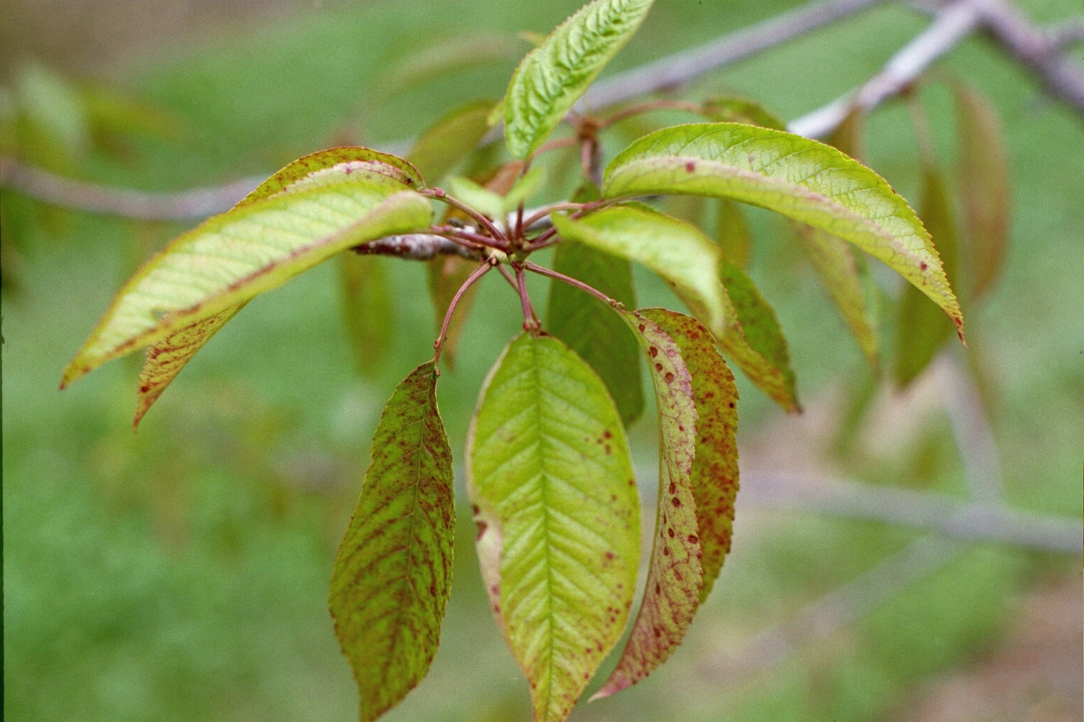 how to tell if fruit tree is dieing
