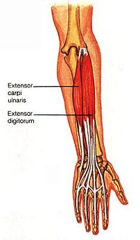 Extensor Digitorum MuscleExtensor Digitorum Muscle