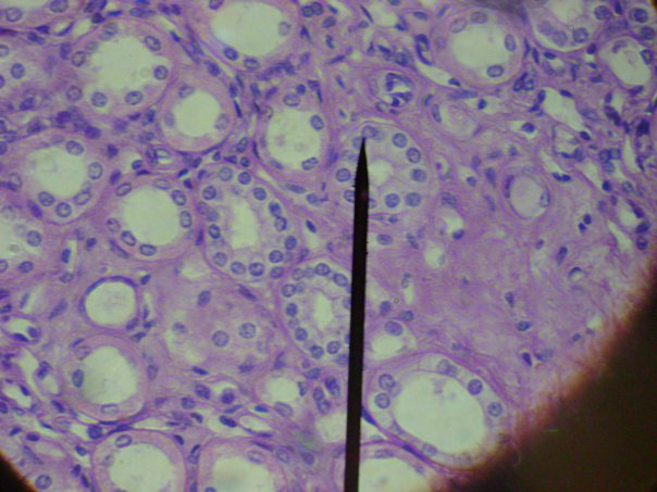 epithelial tissue slides