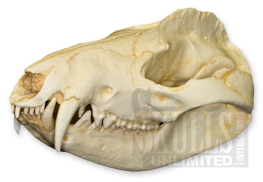 Flashcards Table on Skulls of mamals and dentla formulas