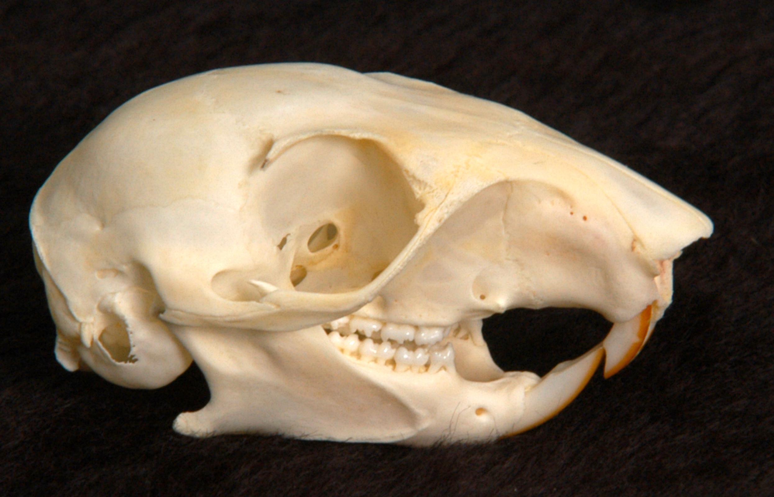 Skulls Of Mamals And Dentla Formulas Flashcards By ProProfs