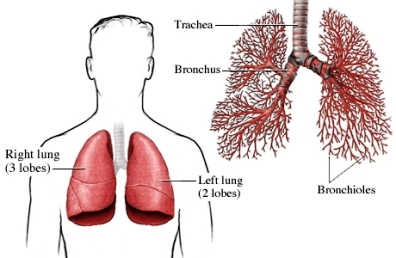 Respiratory System Laci Flashcards By Proprofs