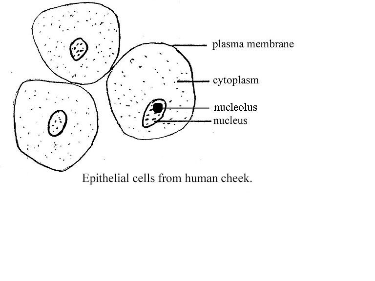 Pics For > Cheek Cell Labeled Diagram