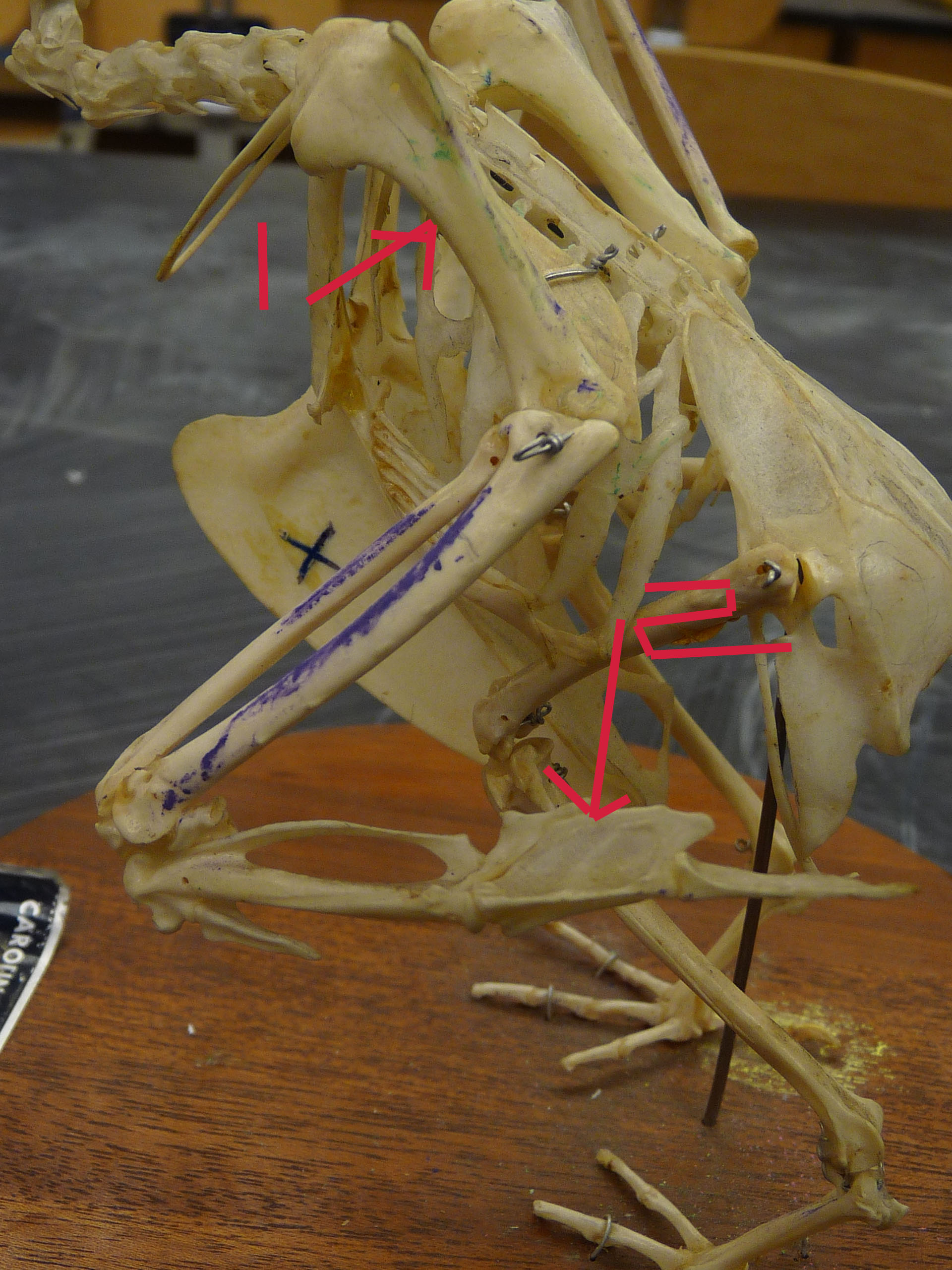 Chicken Bones Flashcards By Proprofs Anatomy Wing Diagram What Is This