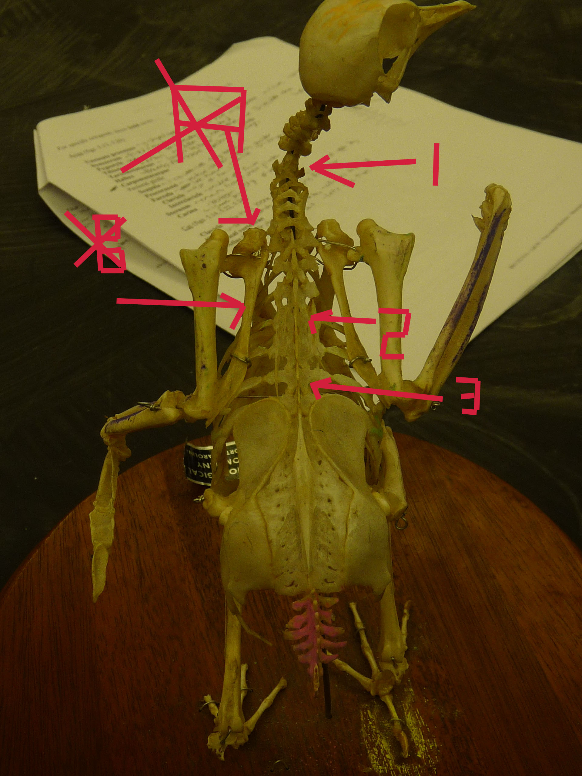 Chicken Bones Flashcards By Proprofs Anatomy Wing Diagram What Is It