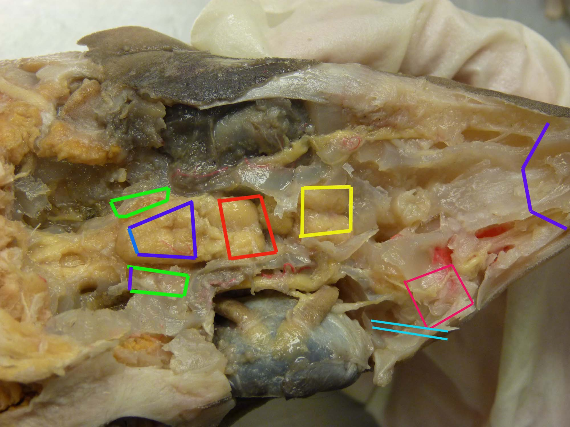 Shark Internal Anatomy Quiz