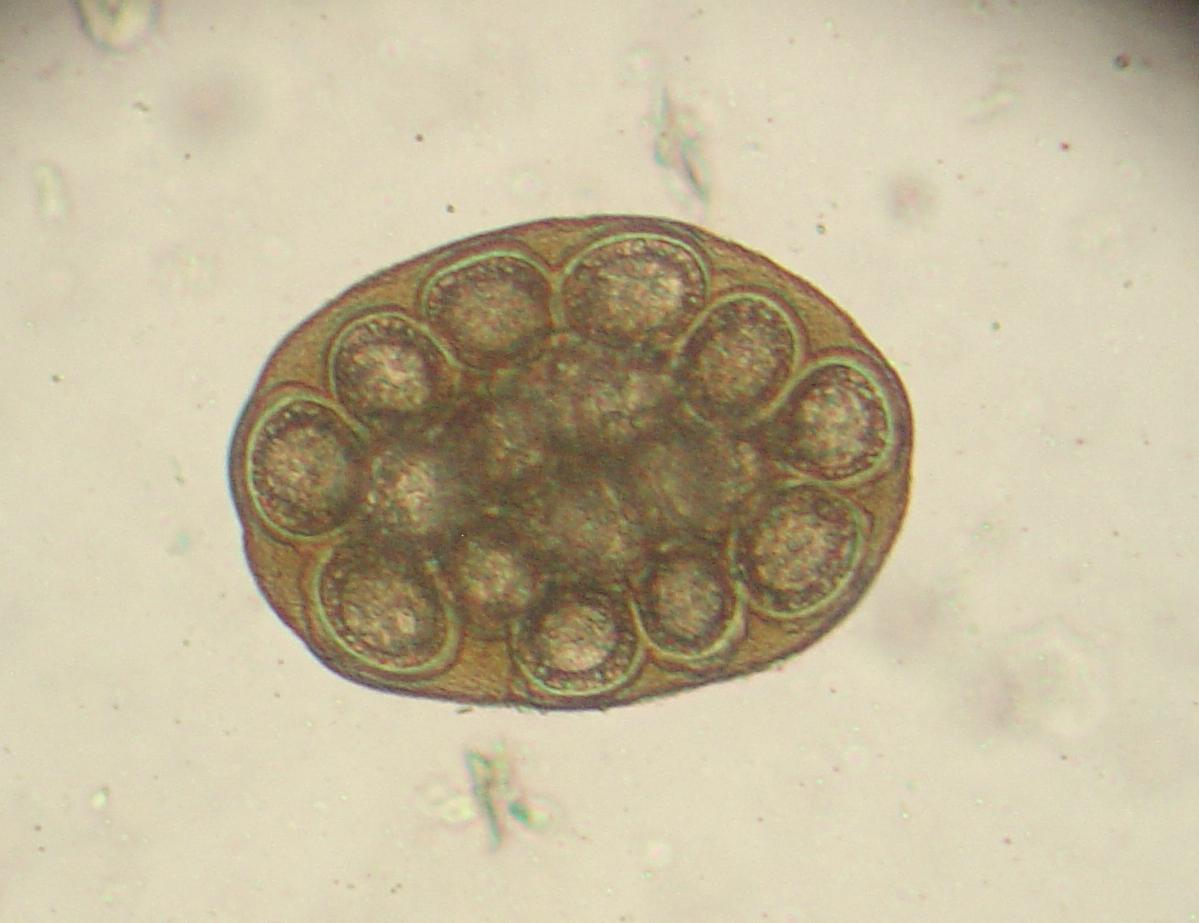 animal diseases sm animal parasite eggs oocysts