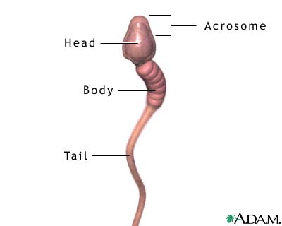 Sperm cell reproduction