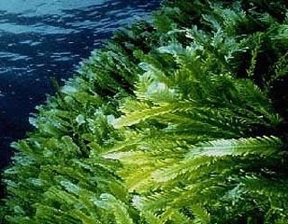 qweerryy: Phylum Chlorophyta The Green